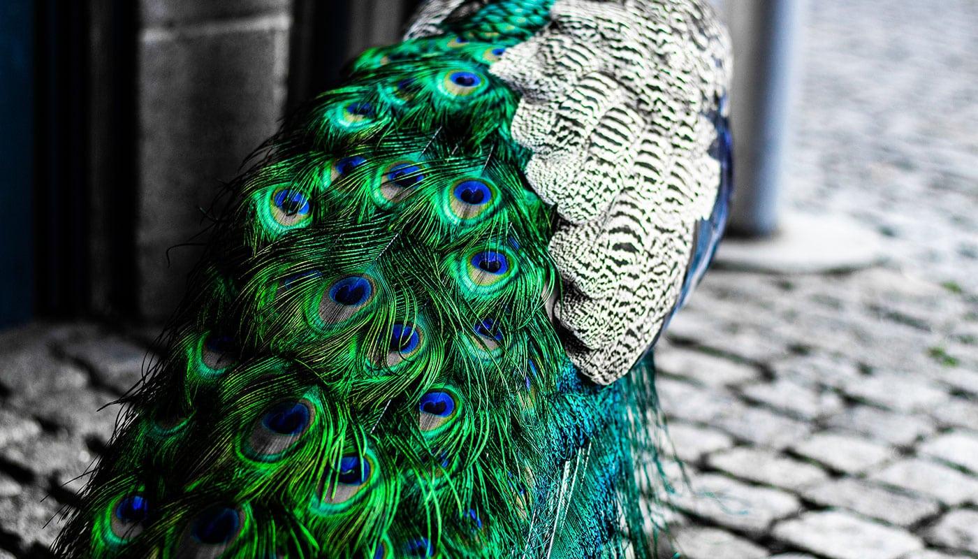 Alle Tiere der Wilhelma - Header-Bild - Gefieder des Blauen Pfau