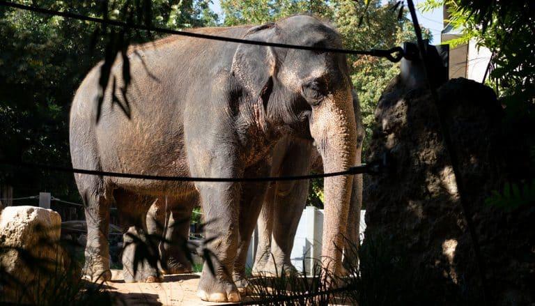 asiatischer elefant » wilhelmatiere