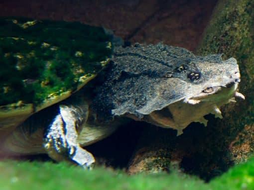 Fransenschildkröte