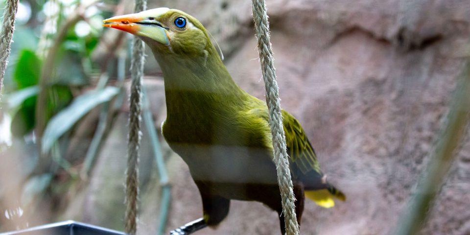Grünschopfstirnvogel