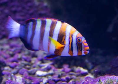 Harlekin-Lippfisch