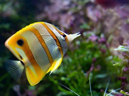 Kupferstreifen-Pinzettfisch