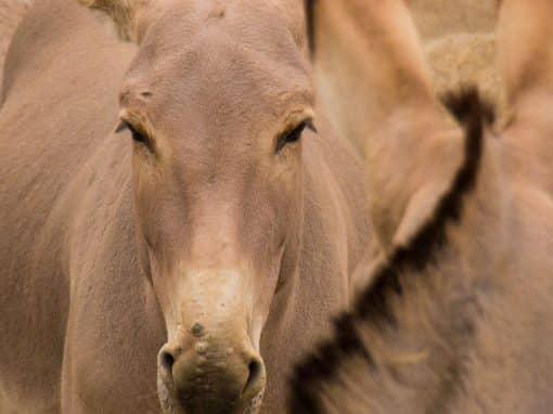 Afrikanischer Esel
