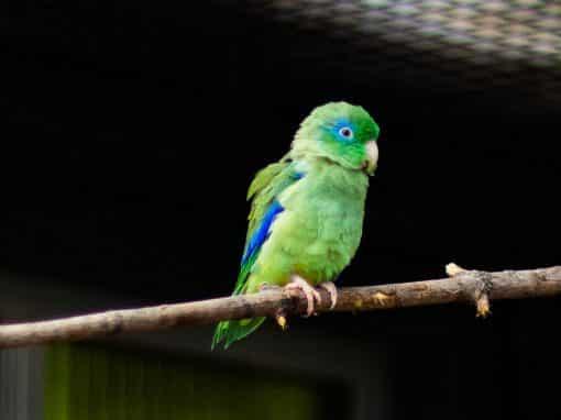 Augenring-Sperlingspapagei