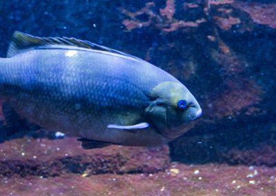 Ruderfisch