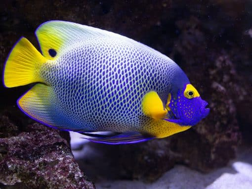 Blaustirn-Kaiserfisch