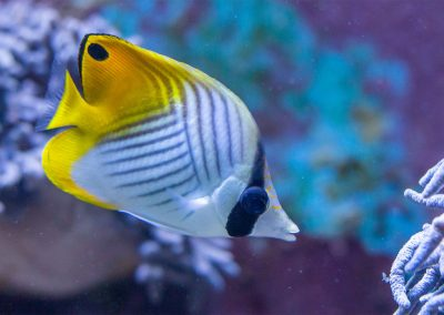 Fähnchen-Falterfisch