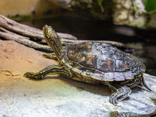 Gelbflecken-Zwerghöckerschildkröte