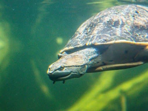 Hellrandige Krötenkopfschildkröte