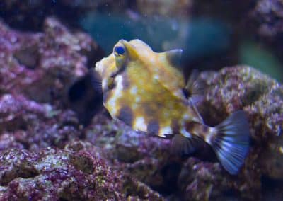 Kamelkofferfisch