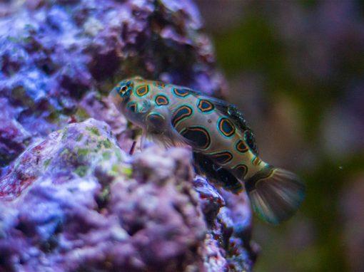 LSD-Leierfisch