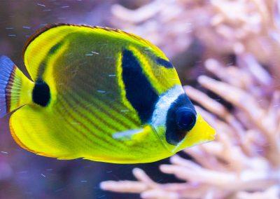 Mondsichel-Falterfisch