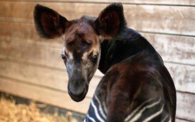 Okapi- und Poitou-Esel-Nachwuchs in der Wilhelma