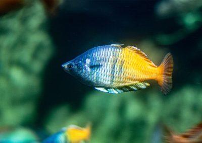 Prachtährenfisch