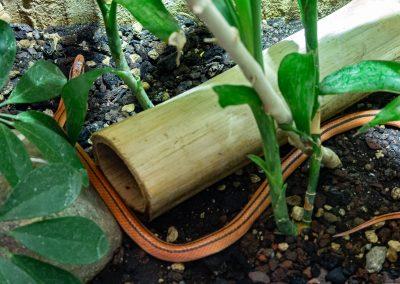 Bambusnatter