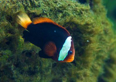 Rotflossen-Clownfisch