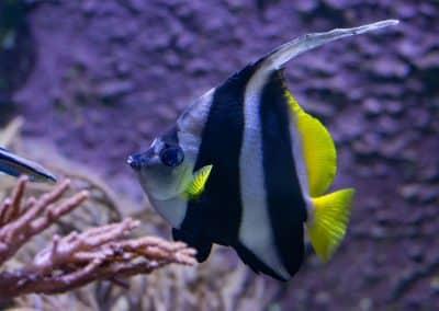 Gemeiner Wimpelfisch